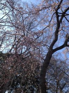 140327平野神社02