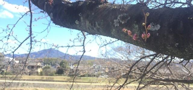 『京都おさんぽ#61』初春の鴨川へ。京の桜ももうすぐです!