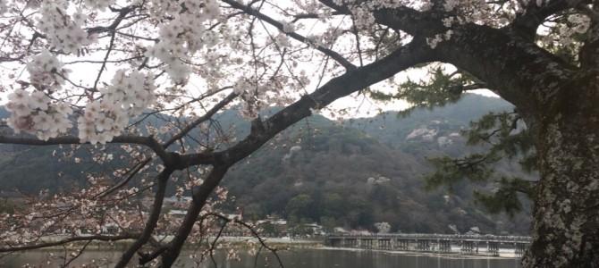 『京都おさんぽ#63』黄昏時に嵐山へ。桜ももうすぐ見頃です!