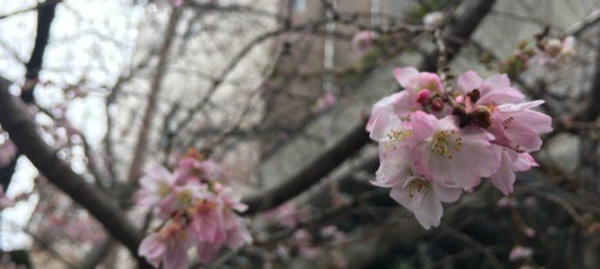 『京都おさんぽ#77』寒〜い冬に桜はいかがですか?