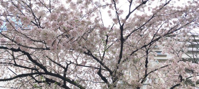 『京都おさんぽ#83』春の京都より 浄福寺通〜堀川通のさくら