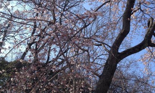 『京都おさんぽ#12』地元の人も愉しむ桜の名所 平野神社