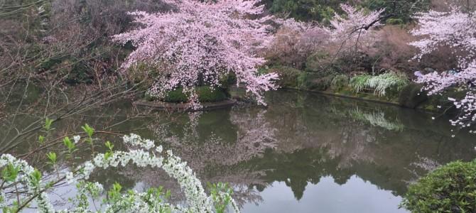 『京都おさんぽ#47』世界文化遺産 龍安寺でさくら、石庭、池を楽しみました。