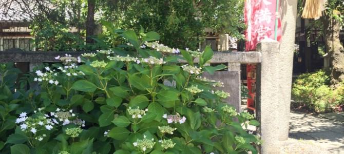 『京都おさんぽ#48』水火天満宮の前に咲き始めた紫陽花