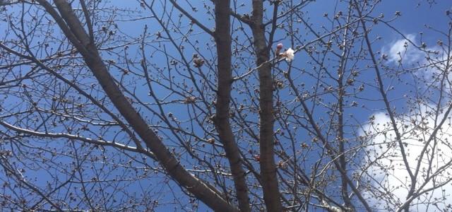 『京都おさんぽ#62』満ち溢れる桜の蕾at天神公園