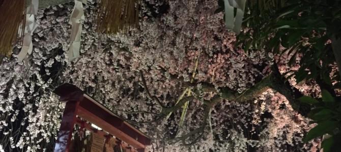 『京都おさんぽ#64』近くの素敵な穴場。水火天満宮の枝垂れざくらは今見ごろ!!