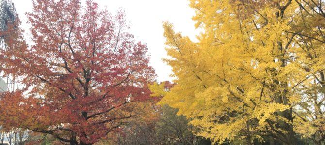 『京都おさんぽ#92』美しく色づいた西京極運動公園。うちのわんことお散歩して来ました。