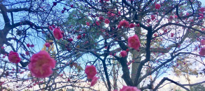 『京都おさんぽ#104』2019年。天神さんへ初詣☆梅の花があちらこちらで。。
