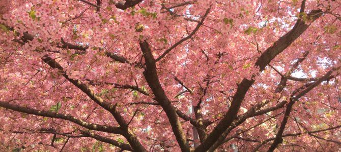 『京都おさんぽ#106』春を迎えた堀川通より 桜をお届けします!